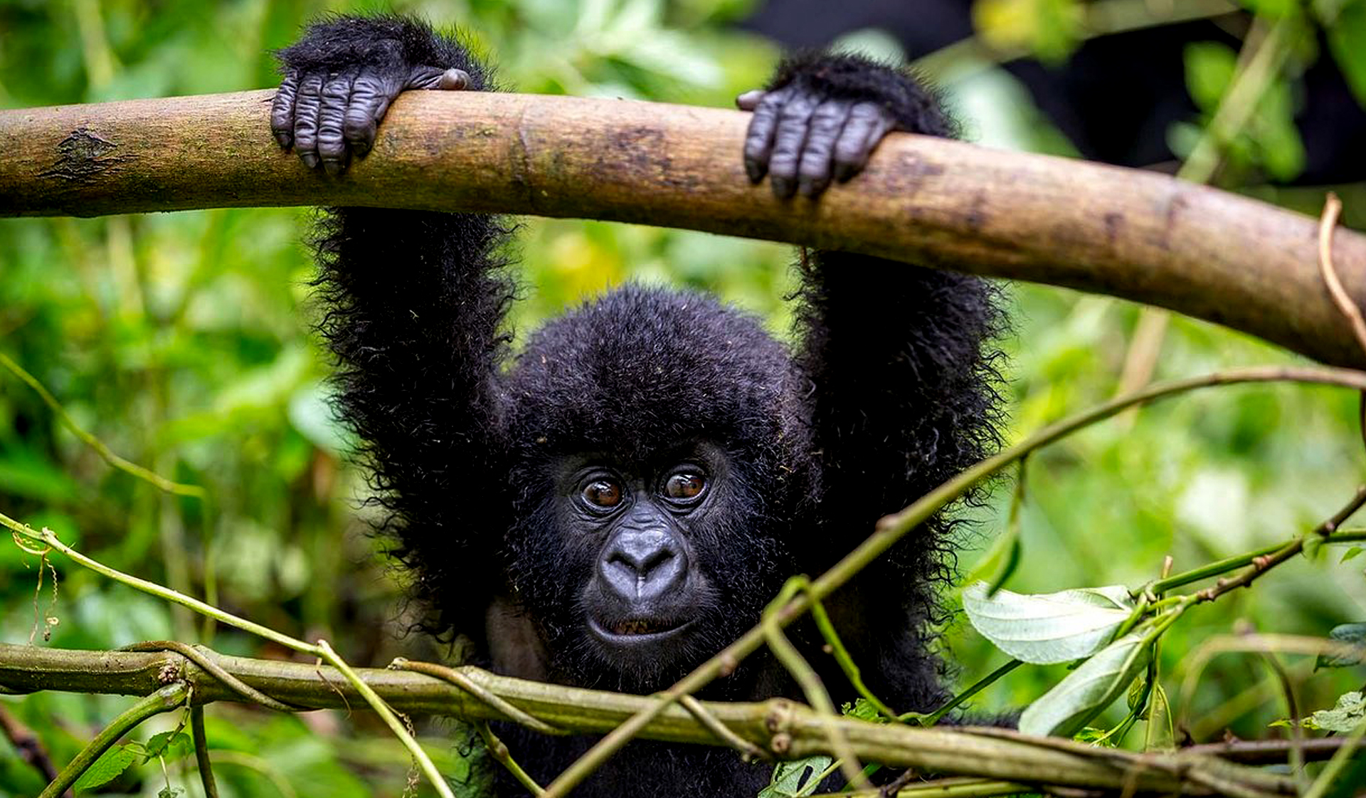 baby-gorilla-in-bwindi-impenetrable-forest-national-park