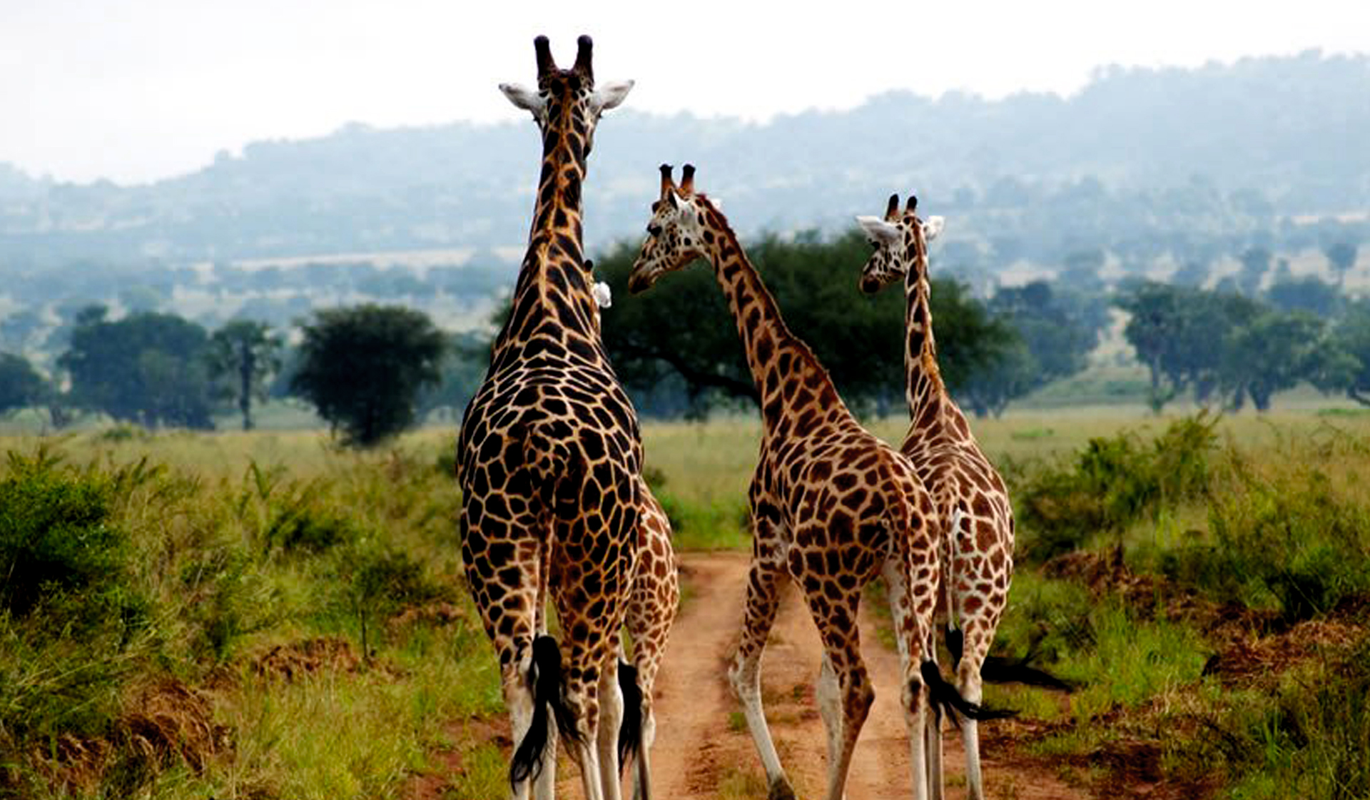 giraffes-in-kidepo-valley-national-park