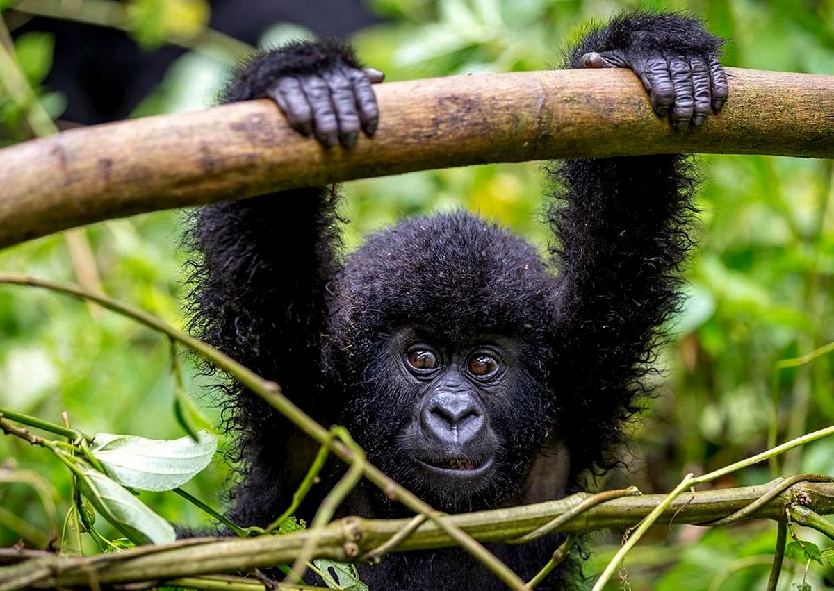 gorilla-tracking-in-uganda-and-rwanda