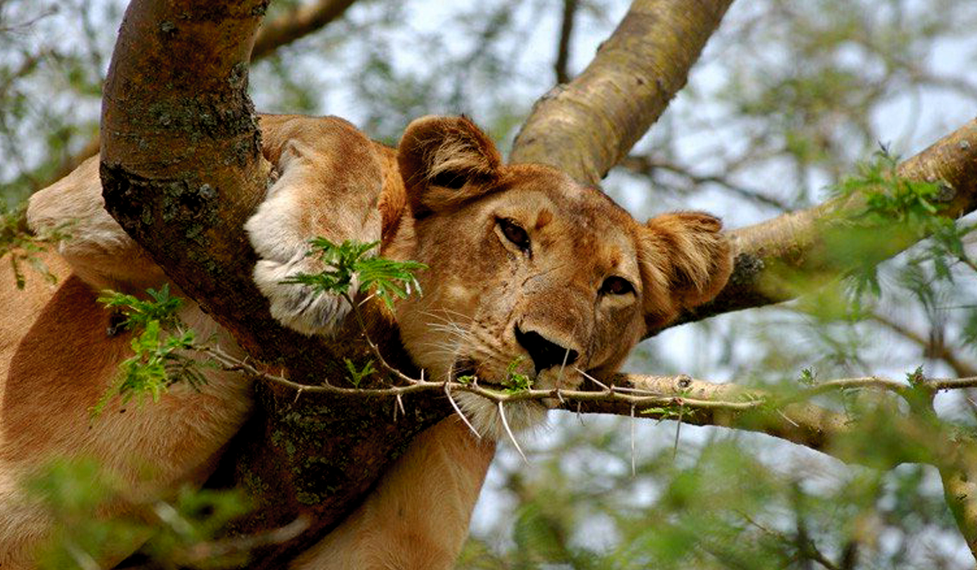 tree-climbing-lion-in-queen-elizabeth-national-park