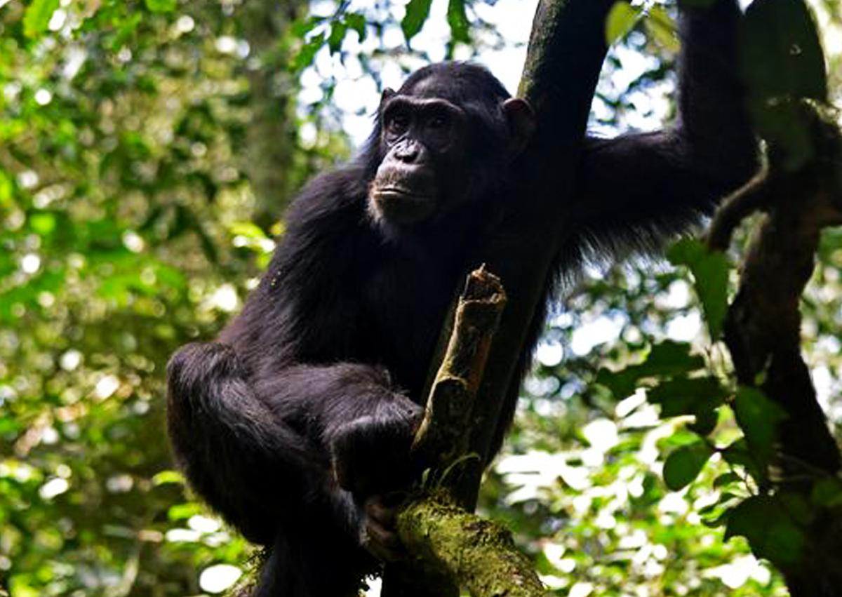 9-days-uganda-safari-with-kibale-chimpanzee-tracking-tour