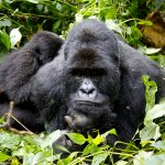 virunga-national-park-gorilla-tracking-congo