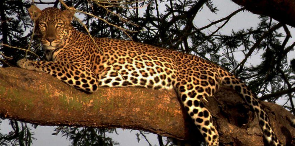 12-days-uganda-gorillas-chimps-and-wildlife-safari-leopards-in-queen-elizabeth-national-park-uganda