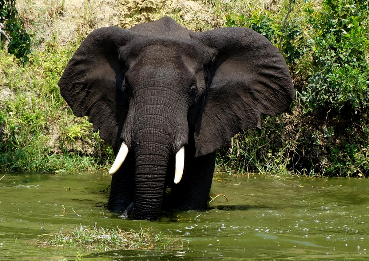 15-days-uganda-gorilla-chimp-rafting-and-big-five-safari-elephants-in-queen-elizabeth