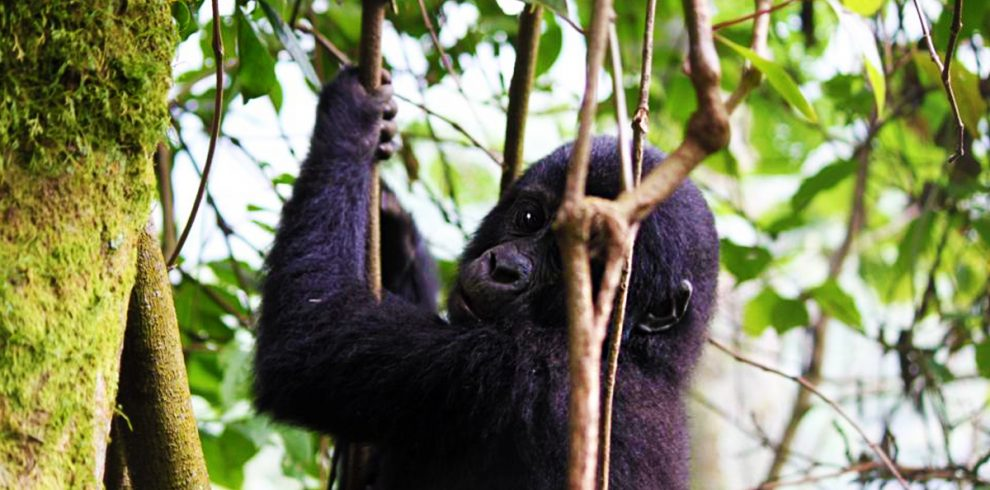 3-days-uganda-gorilla-trekking-tour-in-bwindi-forest-national-park