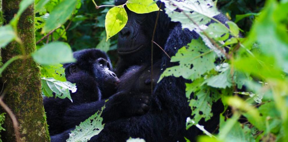 4-days-double-gorilla-trekking-safari-in-bwindi-forest-national-park