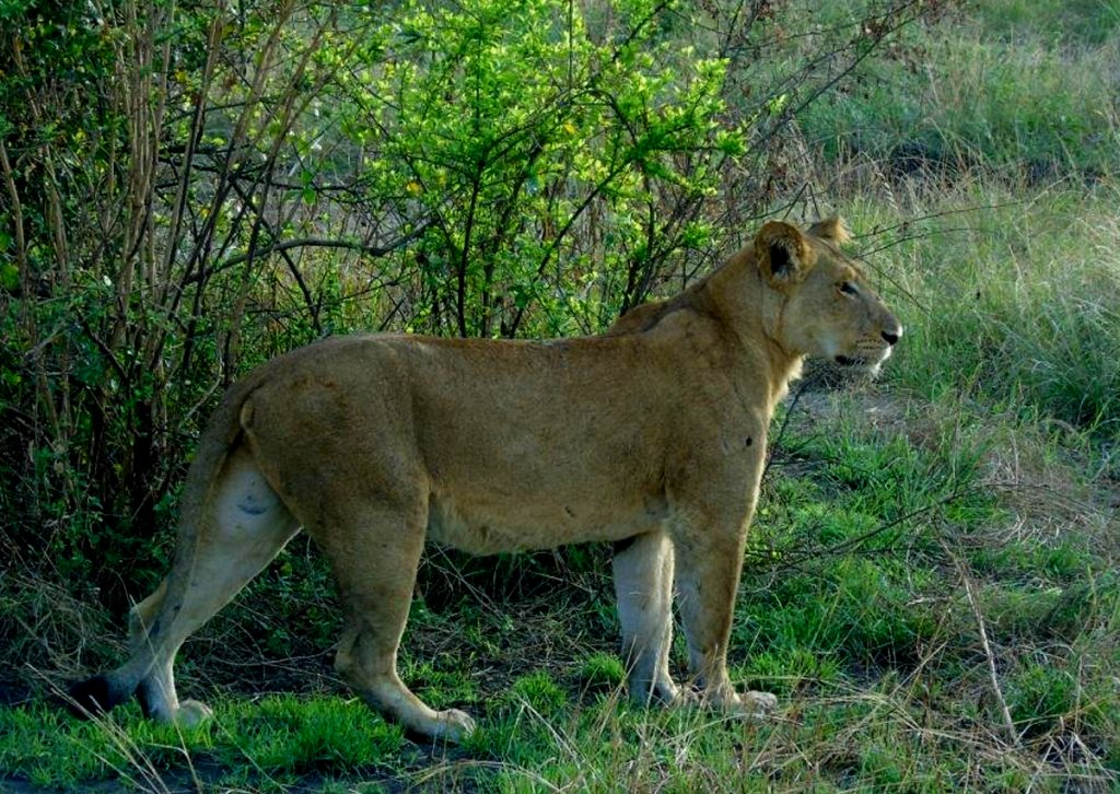 5-days-uganda-gorillas-chimpanzees-and-wildlife-safari-lions-in-queen-elizabeth-national-park