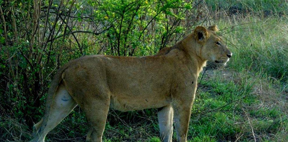 5-days-uganda-gorillas-chimpanzees-and-wildlife-safari-lions-in-queen-elizabeth-national-park
