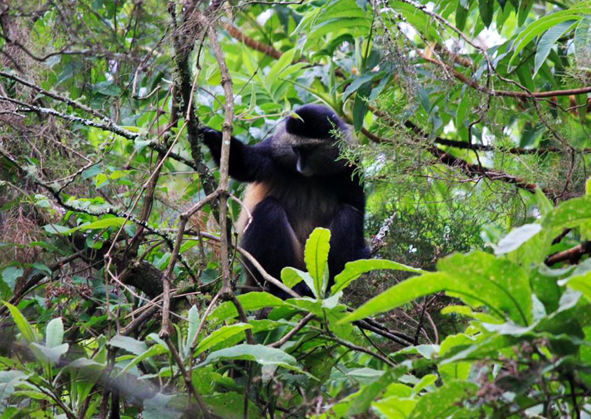 6-days-uganda-primates-safari-with-gorilla-tracking-bwindi-golden-monkeys-in-mgahinga