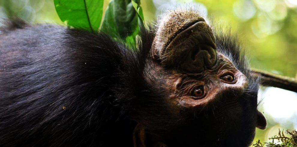7-days-uganda-great-apes-and-golden-monkeys-safari-chimpanzees-in-kibale-forest