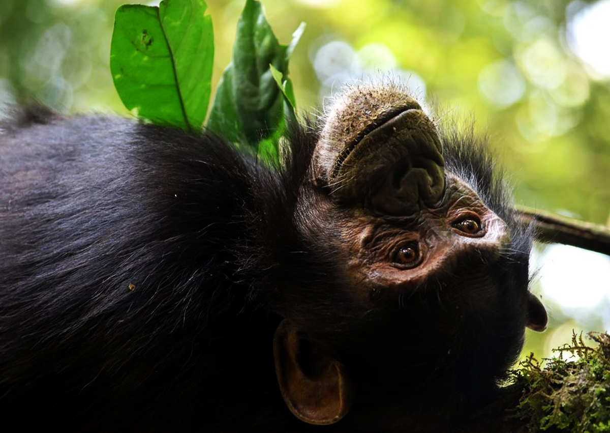7 Days Uganda Great Apes and Golden Monkeys safari - Get to African Wildlife