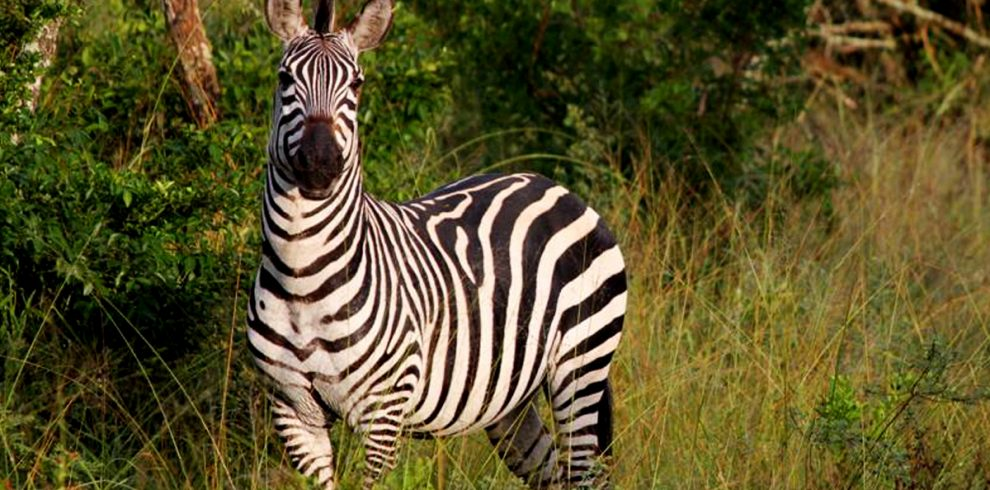8-days-uganda-wildlife-safari-with-gorillas-and-chimpanzees-zebras-in-lake-mburo-national-park
